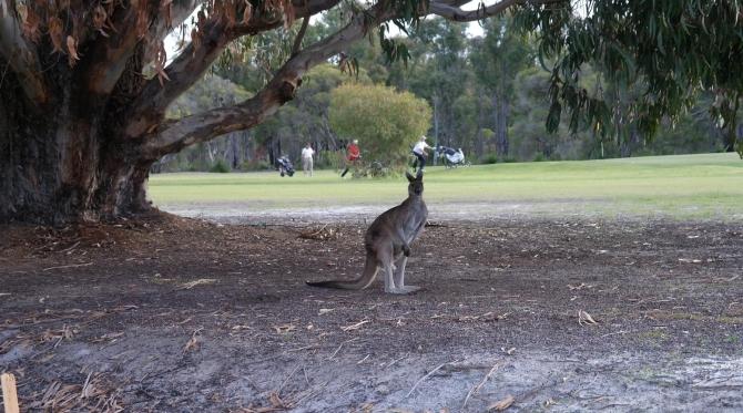 Collie Golf Course – Kangaroo